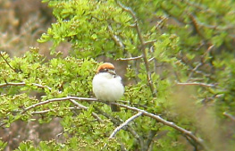 Woodchat Shrike at Carnan Mor (John Bowler)