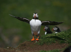 puffin on the isle of lunga